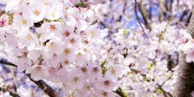 13エリア桜紀行:別荘地に近い桜の名所 <後編>