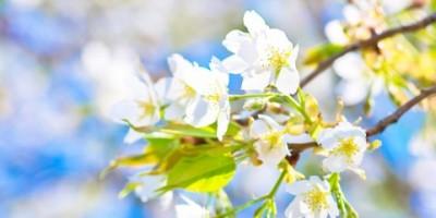 13エリア桜紀行:別荘地に近い桜の名所 <前編>