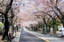 伊豆の桜並木