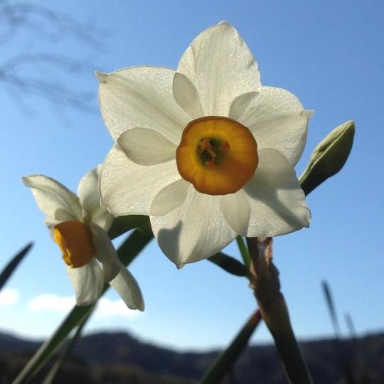 南房総では、水仙はとても早くから咲きはじめ、お正月には土手一面に咲き誇ります。