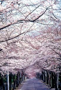 伊豆高原駅「桜のトンネル」