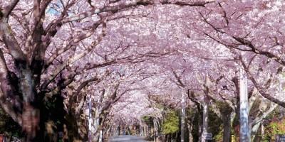 伊豆高原駅-桜並木のトンネル