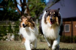 ドッグランで走る愛犬たち