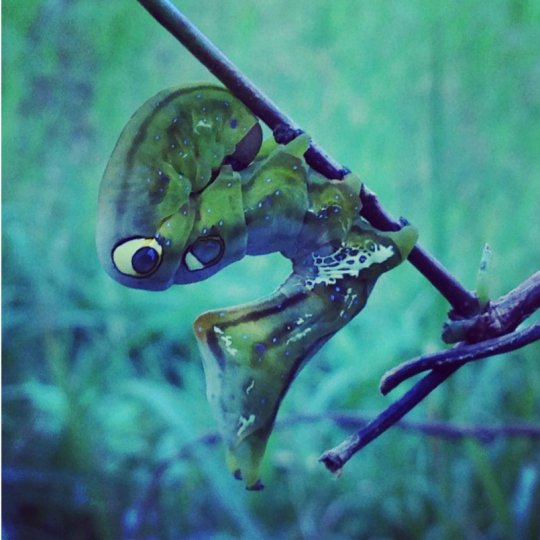 アケビコノハという蛾の幼虫