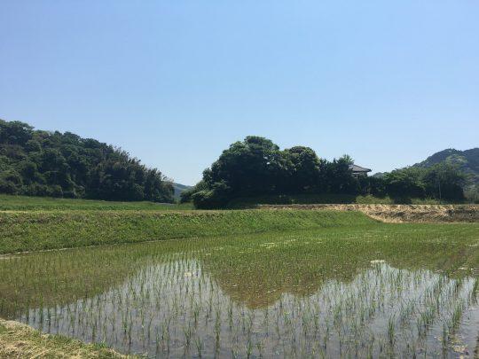 今年も、田んぼが美しい季節になりました。