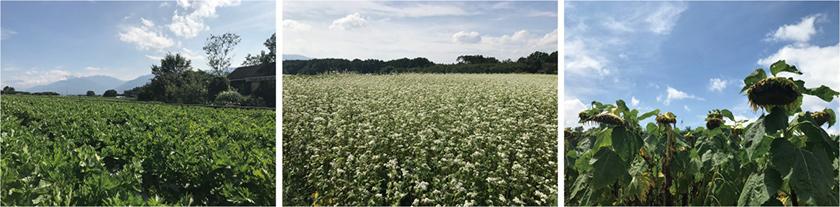 僕らのお店Heart Villageの周りもセロリ畑が広がり、晩夏の季節には、セロリの中にお店が浮かんでいるような感じです。そば畑も向かいにあって、真っ白で小さな花がとても綺麗です。夏のICON的なヒマワリも、この季節には枯れて、種の収穫を迎えます。