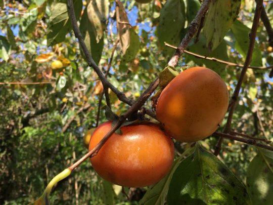 木で完熟したこの柿は、本当に美味しい。