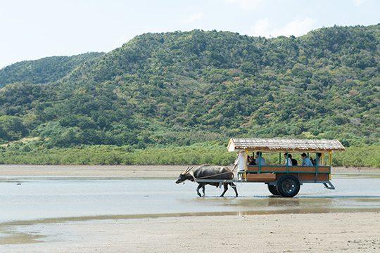 西表島から由布島へと渡る水牛車