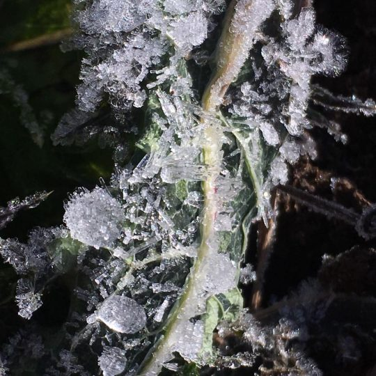 雑草には霜。房総半島南端とはいえ、中山間地の夜は寒い。マイナス6度にも。