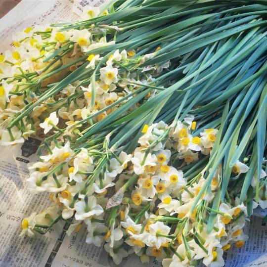 「新年だよ!寒いよ!でも冬の次は春だよ!」と素晴らしい香りでわたしたちを未来に誘ってくれる水仙。いっぱい摘んで家に飾りました。でもそろそろ終盤の時期。