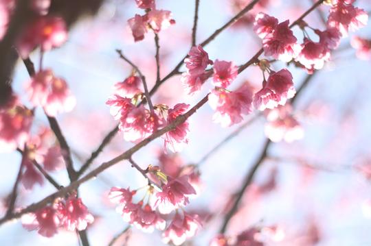 1月に可憐な花を見せてくれる寒緋桜