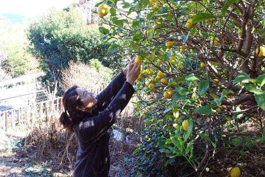 庭は段々畑になっていて、前の所有者から引き継いだレモンやミカンの木には、果実がたわわに実っていた