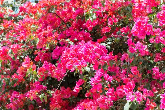 こんもりと咲き誇るブーゲンビリア