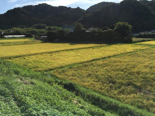 田んぼが一気に黄金色へ。鳴く虫は秋の声へ。
