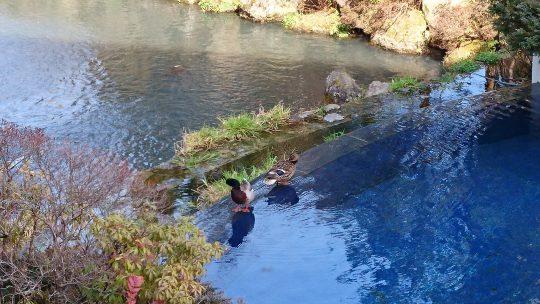 翡翠の池の常連鴨