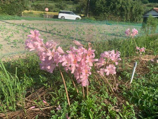 ほら、ピンクの彼岸花。ここだけ刈り残しているご近所さんのセンスが好き。