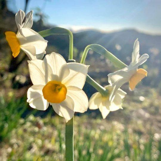 日の光に透かして見る水仙の花が好きです。