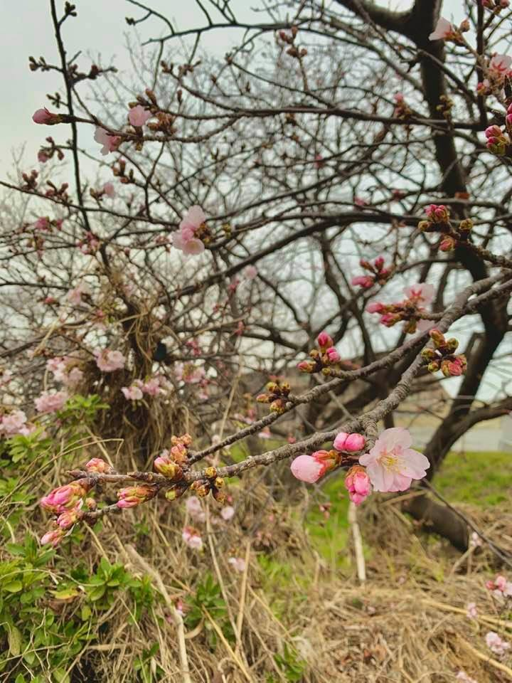 地面につきそうなほど傾いた梅の木も、満開になり、先週散りました。