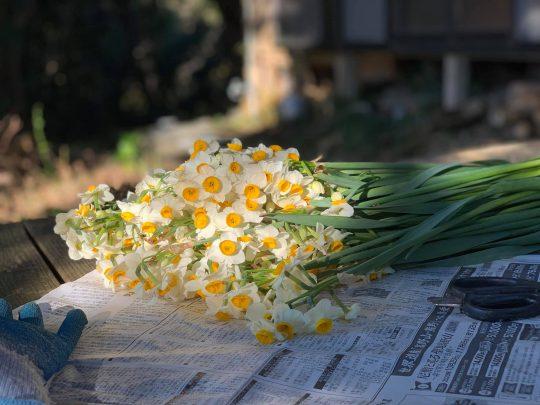 水仙も最盛期。どっさり摘んで花束にすると、肺の中まで香りでいっぱいになります。