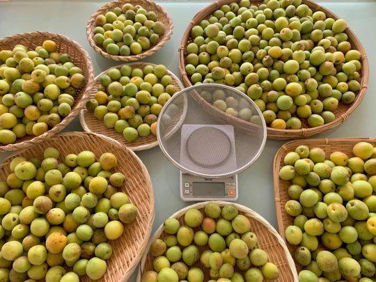 今年は梅が大豊作!うちだけかと思ったら、あたりみーんな大豊作。